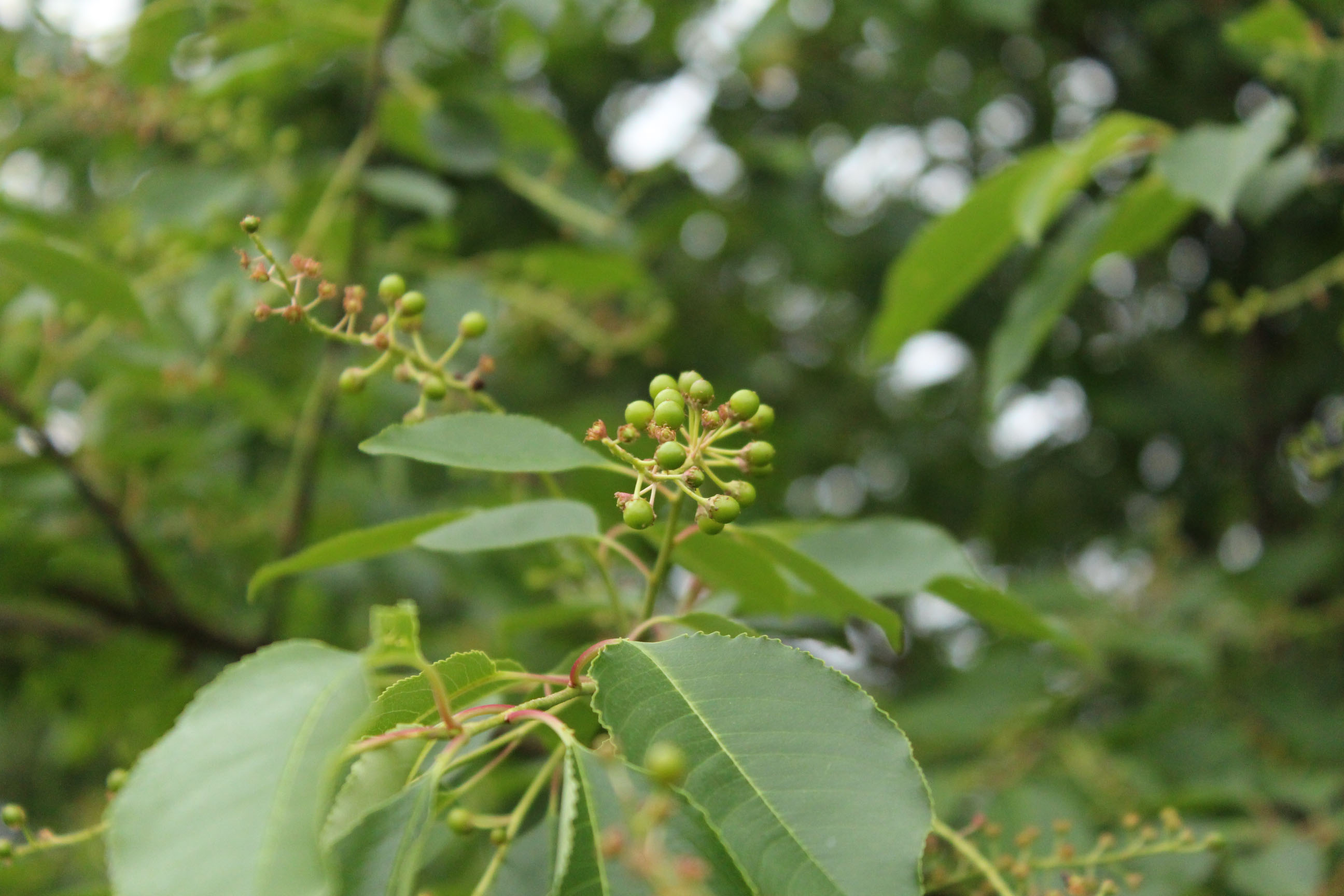 Wild Black Cherry tree